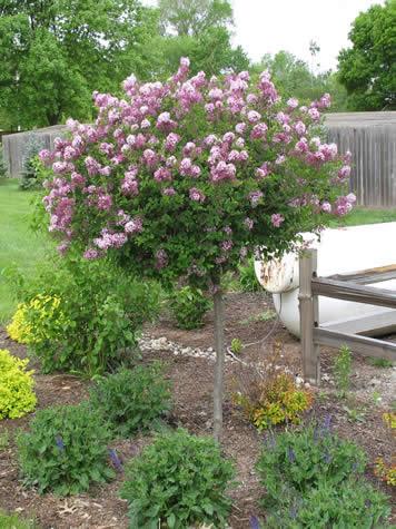 Lilac Tree Gammon S Garden Center Amp Landscape Nursery