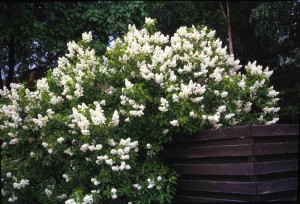 Syringa vulgaris 'Alba'