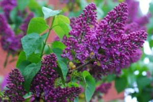Syringa vulgaris 'Congo'