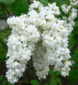 Syringa vulgaris 'Ellen Willmott'
