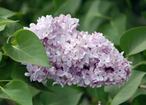 Syringa vulgaris 'Nadezhda'