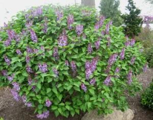 Syringa vulgaris 'Prairie Petite'