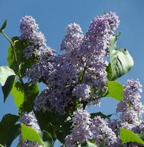 Syringa vulgaris 'Wedegewood Blue'