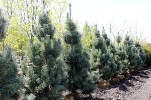 Vanderwolfs Pyramid Pine