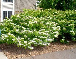 Viburnum plicatum tomentosum 'Shoshoni'