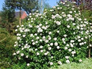 Viburnum x carlesii