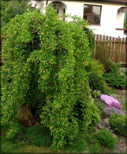 Weeping Peashrub Gammon S Garden Center Amp Landscape Nursery