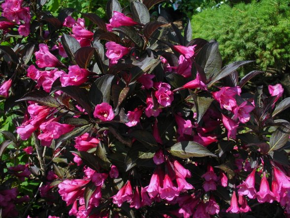 Weigela Gammon S Garden Center Amp Landscape Nursery