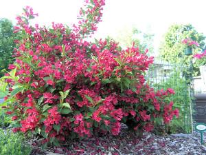 Weigela florida 'Red Prince'