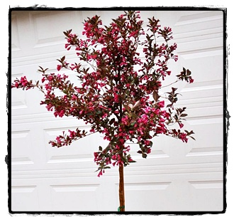 Weigela Tree Gammon S Garden Center Amp Landscape Nursery