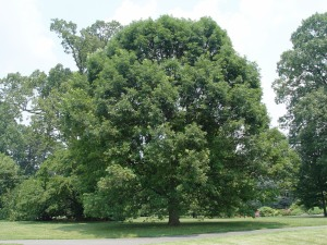 Form of Quercus alba (white oak)