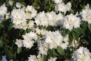 b015763_Rhododendron_April_Snow_0