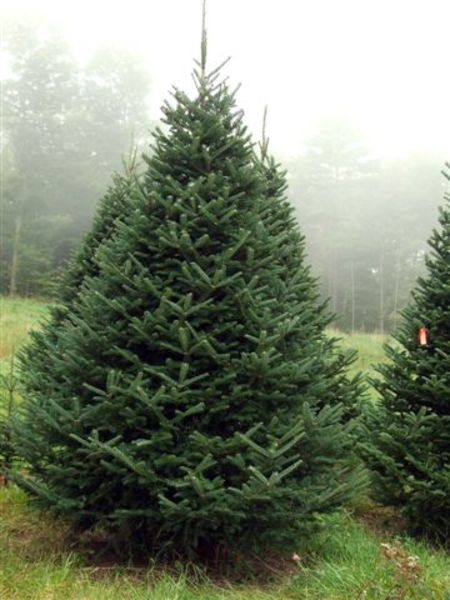 Christmas Trees Maine