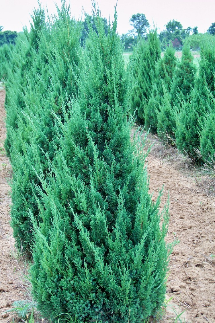 Juniper – Gammon's Garden Center & Landscape Nursery