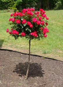Rose Trees Gammon S Garden Center Amp Landscape Nursery