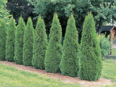 emeraldgreenarborvitae1