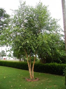 heritagebirch