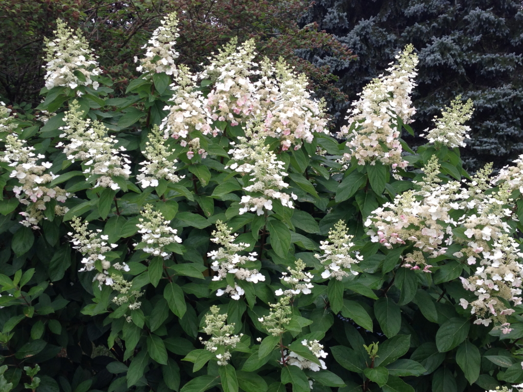 hydrangea  u2013 gammon u0026 39 s garden center  u0026 landscape nursery