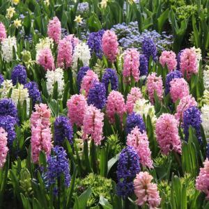 istock-3185451_bulb-hyacinth-flower_s4x3.jpg.rend.hgtvcom.1280.960