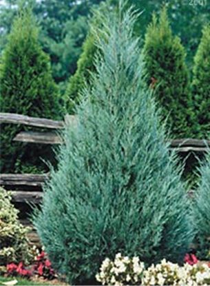 Blue Star Juniper Bush