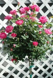pinkdoubleknockoutrosetree