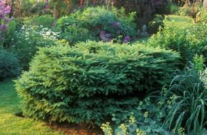 s Nest Spruce