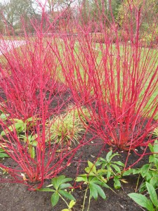 s Red Twig Dogwood