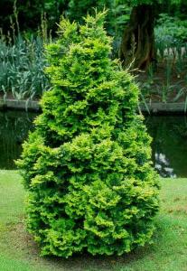Cypress Semi Dwarf Hinoki