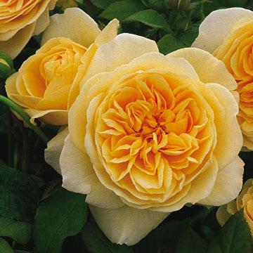 David Austin Roses Fragrant Gammon S Garden Center