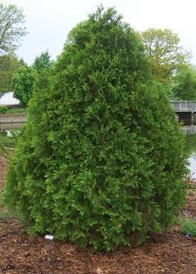 Arborvitae Gammon S Garden Center Amp Landscape Nursery