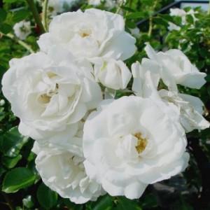 whitedawnrose