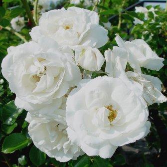 shrub roses gammon 39 s garden center landscape nursery. Black Bedroom Furniture Sets. Home Design Ideas