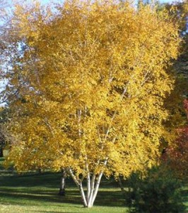 whitespirebirch