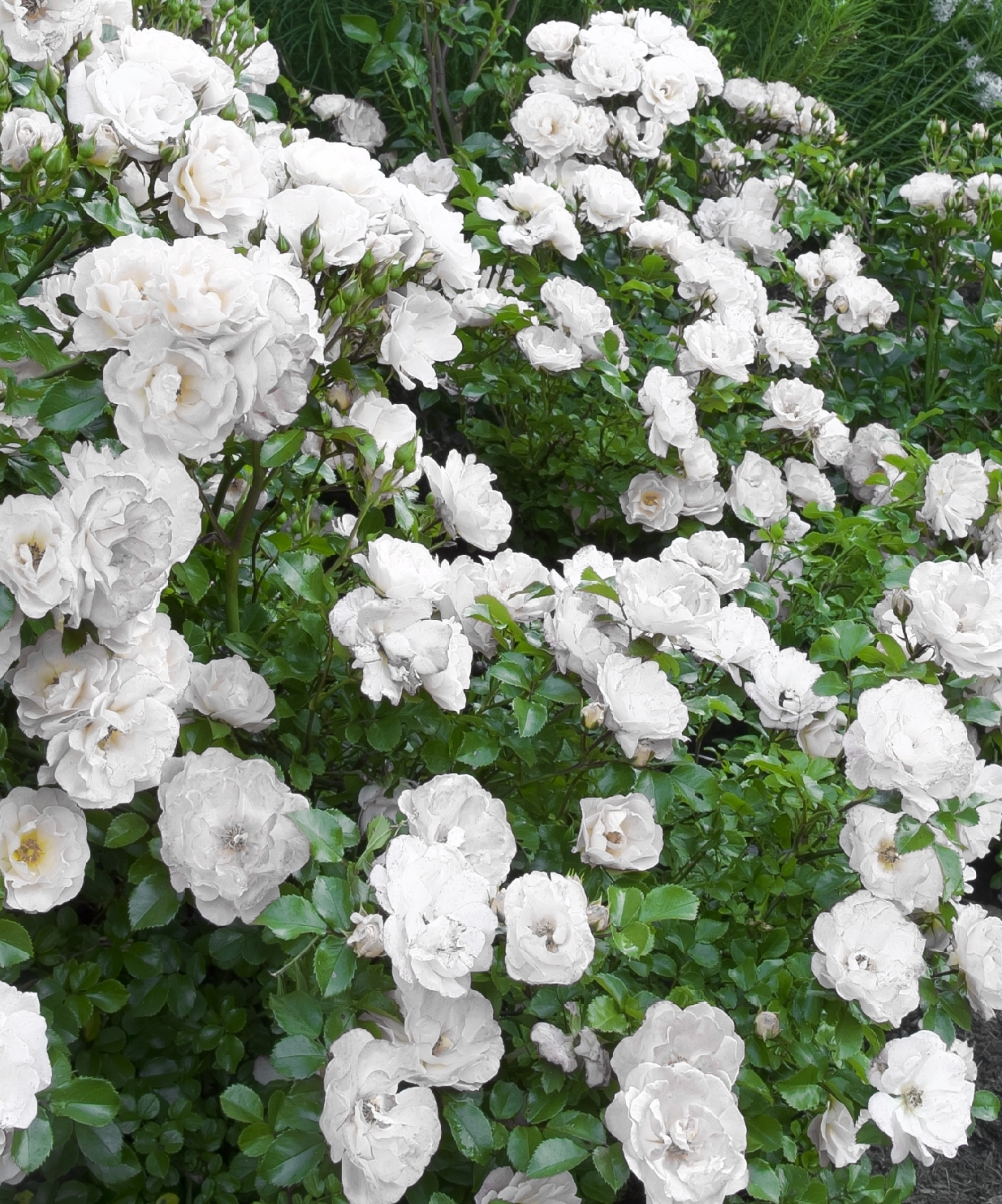Trailing Roses Gammons Garden Center Landscape Nursery