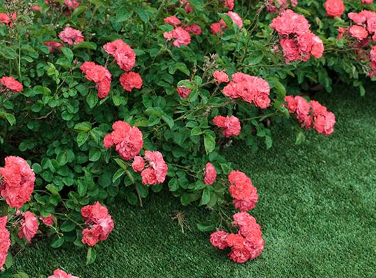 Trailing Roses Gammon S Garden Center Amp Landscape Nursery