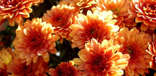 growing-chrysanthemums-garden-3