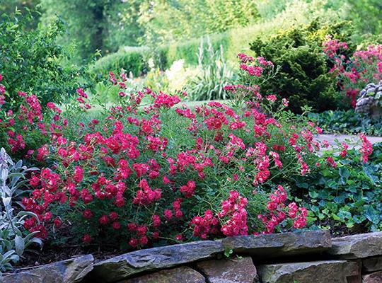 Red Drift Rose Zone 4